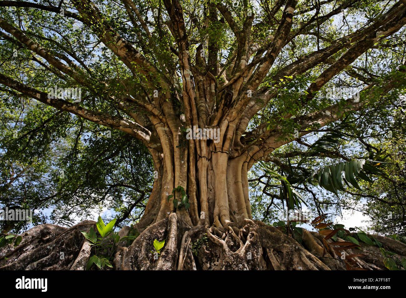 Banyan Tree, Ficus Benghalensis, Costa Rica Stock Photo, Royalty ...