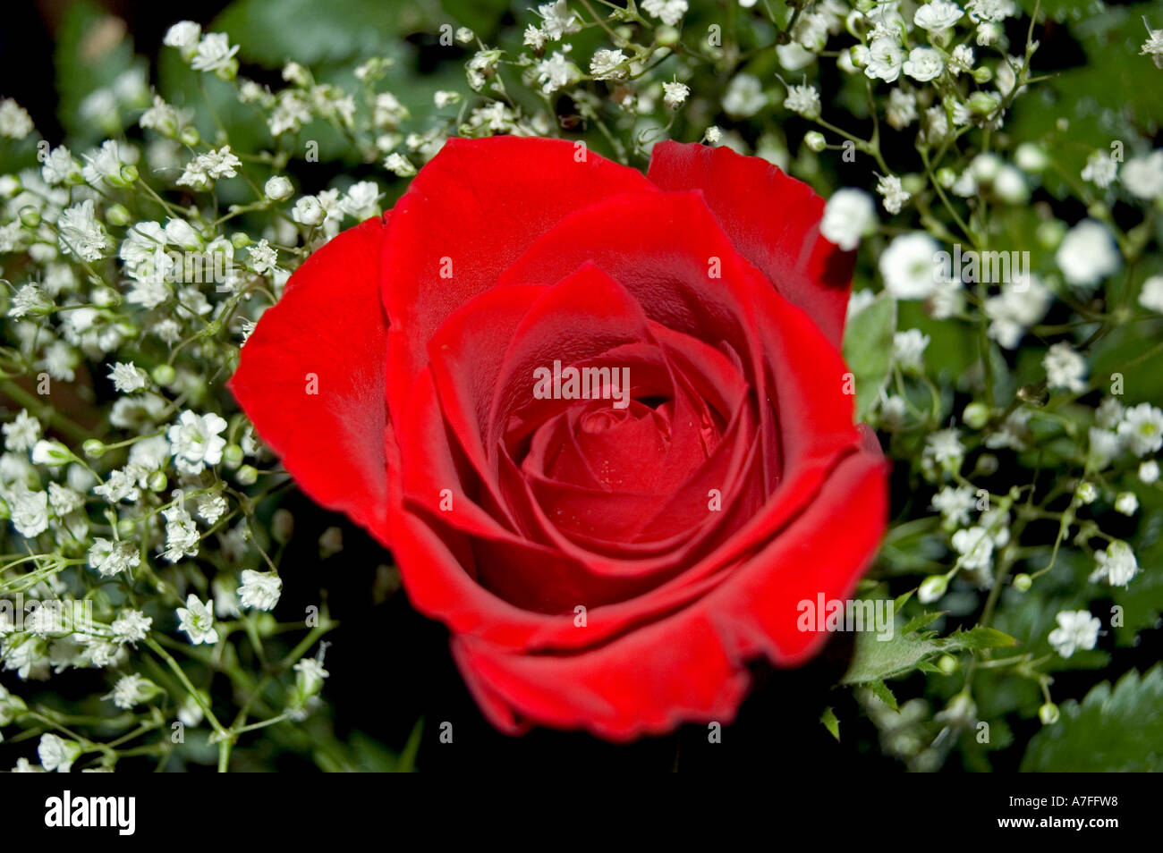 Rose and baby breath flower bouquet stock photo 6757079 alamy rose and baby breath flower bouquet izmirmasajfo