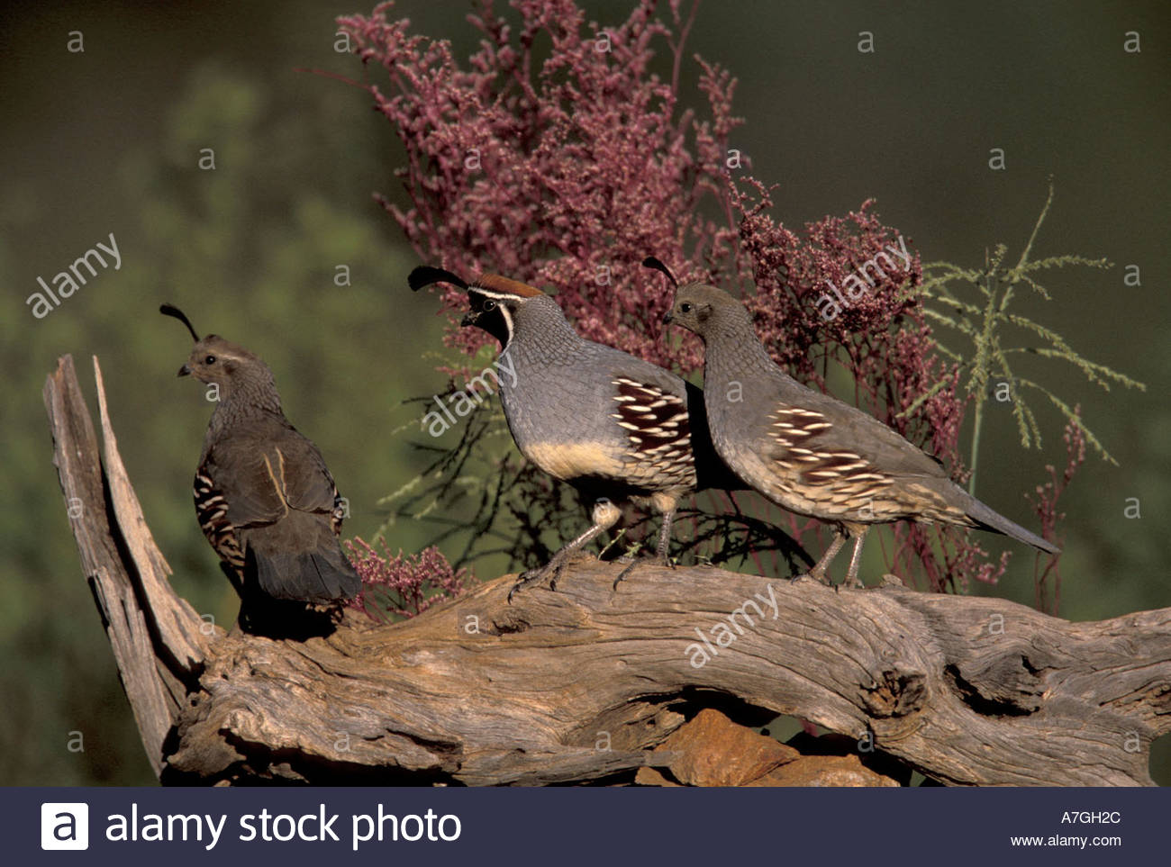 how to tell male from female quail