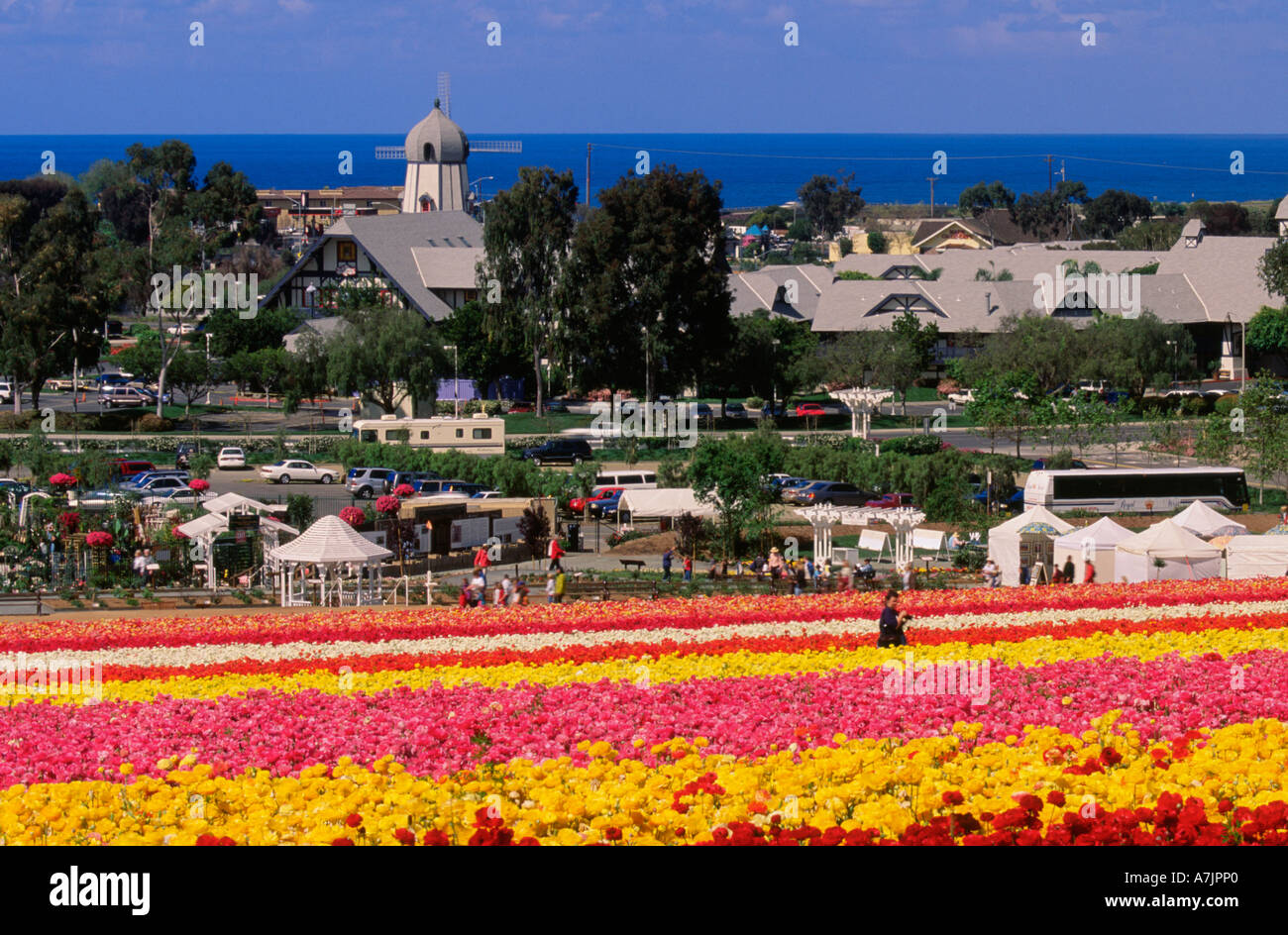 Ranunculus Flower Gardens In Spring At Carlsbad, California, USA With  Pacific Ocean In Background