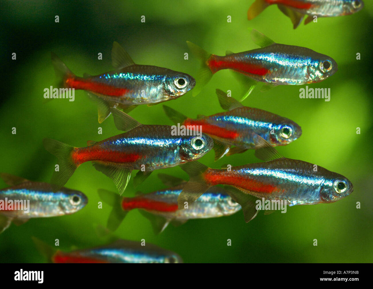 how to take care of neon tetras