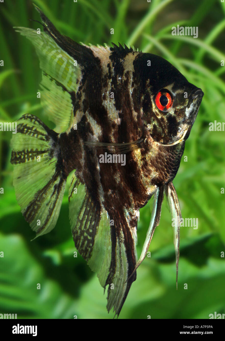 freshwater angelfish, longfin angel fish, black angelfish ...