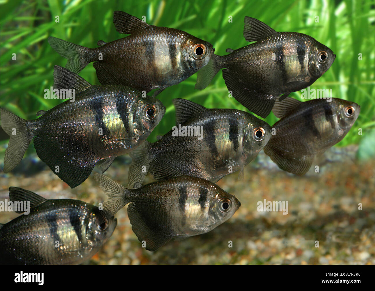 Black tetra black skirt tetra gymnocorymbus ternetzi for Black fish eggs
