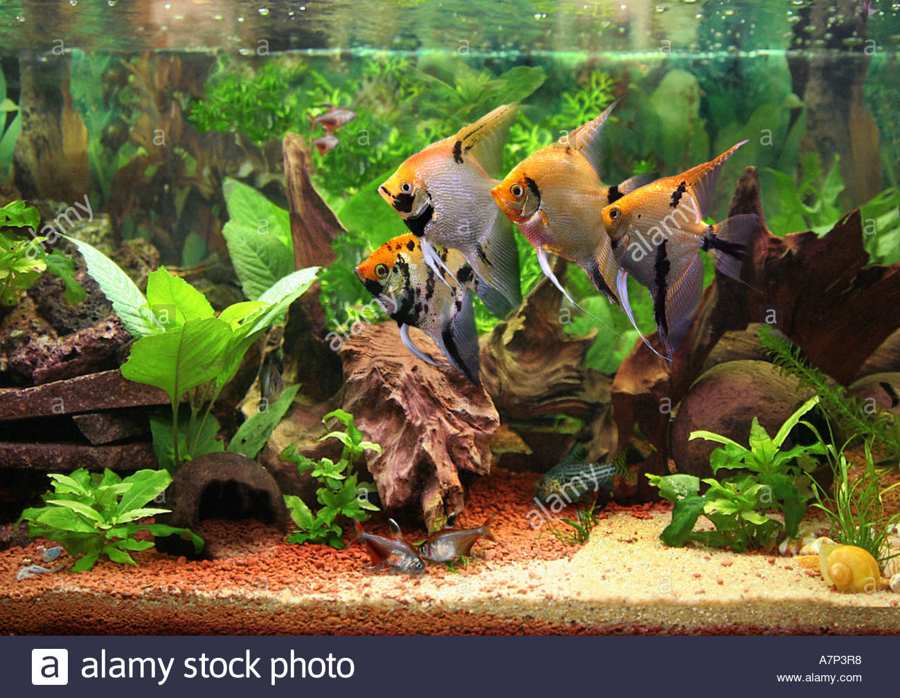 Freshwater aquarium fish angelfish - Stock Photo Freshwater Angelfish Longfin Angel Fish Black Angelfish Scalare Pterophyllum Scalare Aquarium Fish Tank