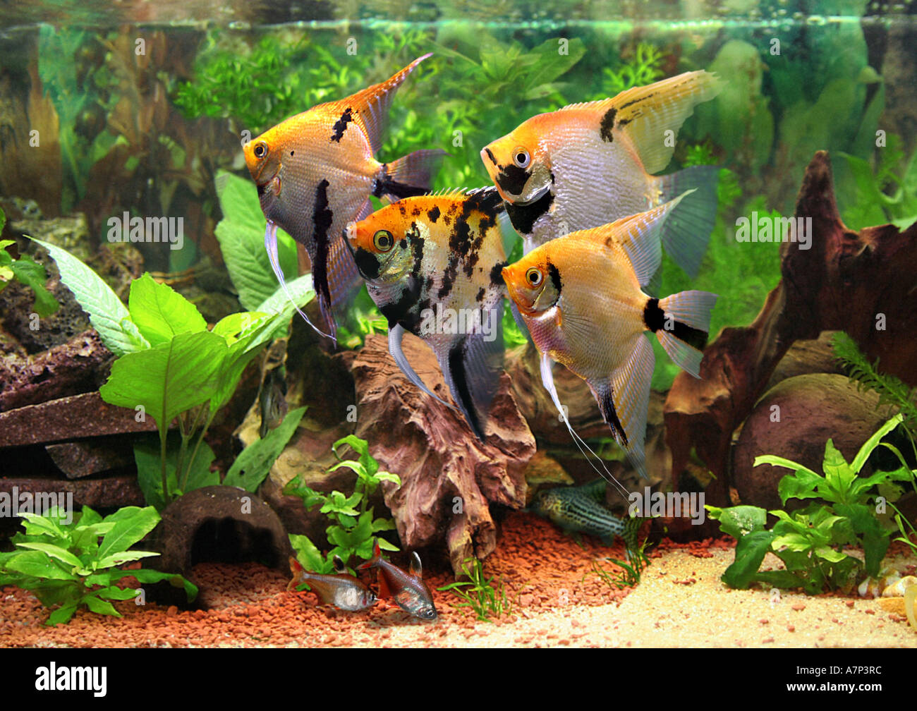 Freshwater aquarium fish angelfish - Freshwater Angelfish Longfin Angel Fish Black Angelfish Scalare Pterophyllum Scalare Swarm In Aquarium