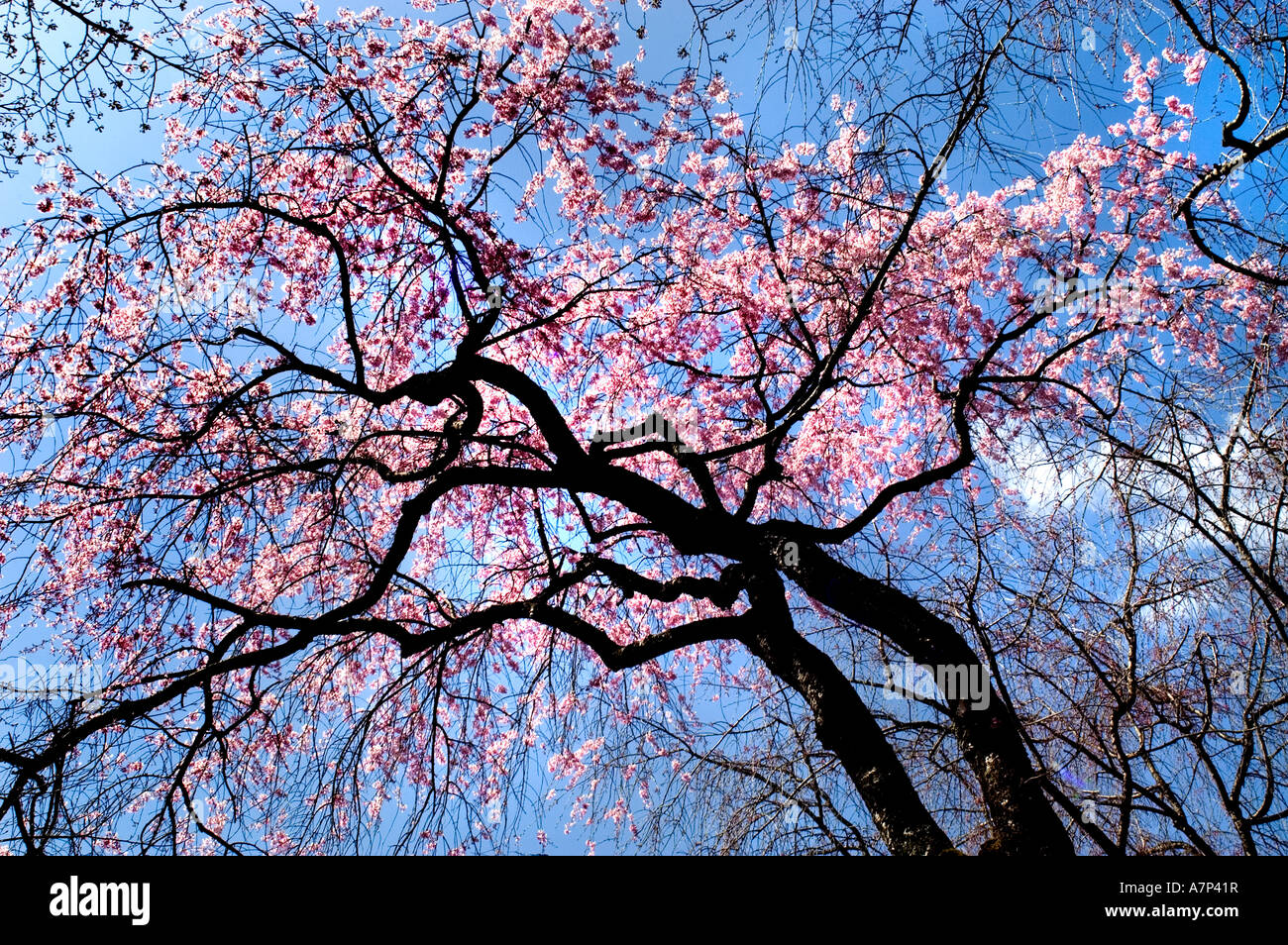 Cherry blossom tree in nijo castle tokugawa ieyasu shogun Japanese cherry blossom tree