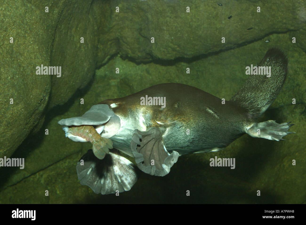 Platypus  Definition of Platypus by MerriamWebster