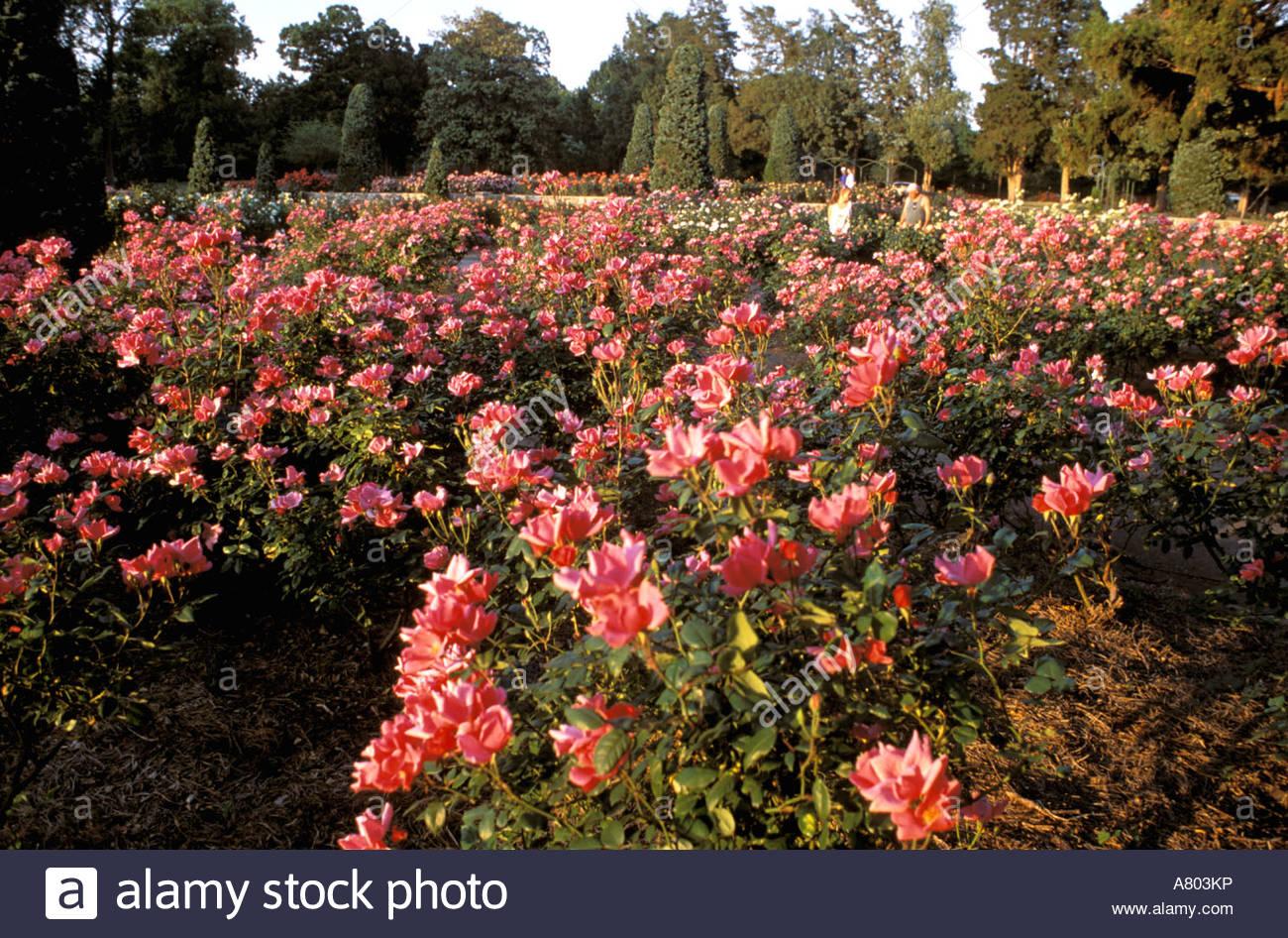 North America, USA, Oklahoma, Tulsa. Tulsa Garden Center Roses
