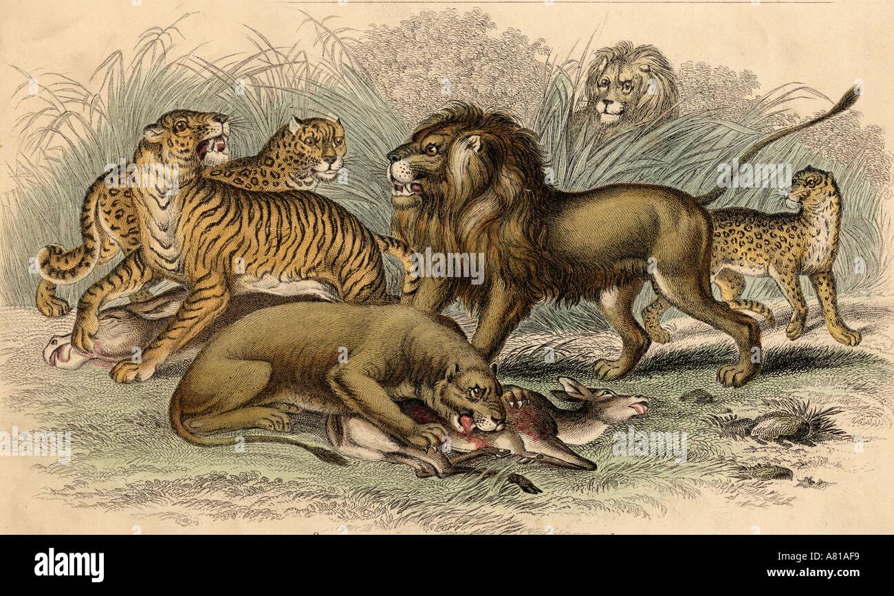 Liger  Crossbreeding Lion amp Tigress