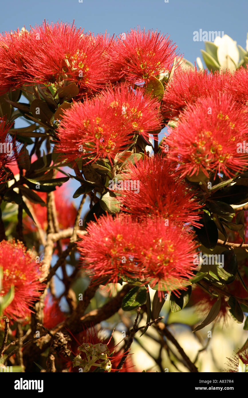 ... New Zealand Pohutukawa Flowers, Also Known As The NZ Christmas Tree    Stock Photo