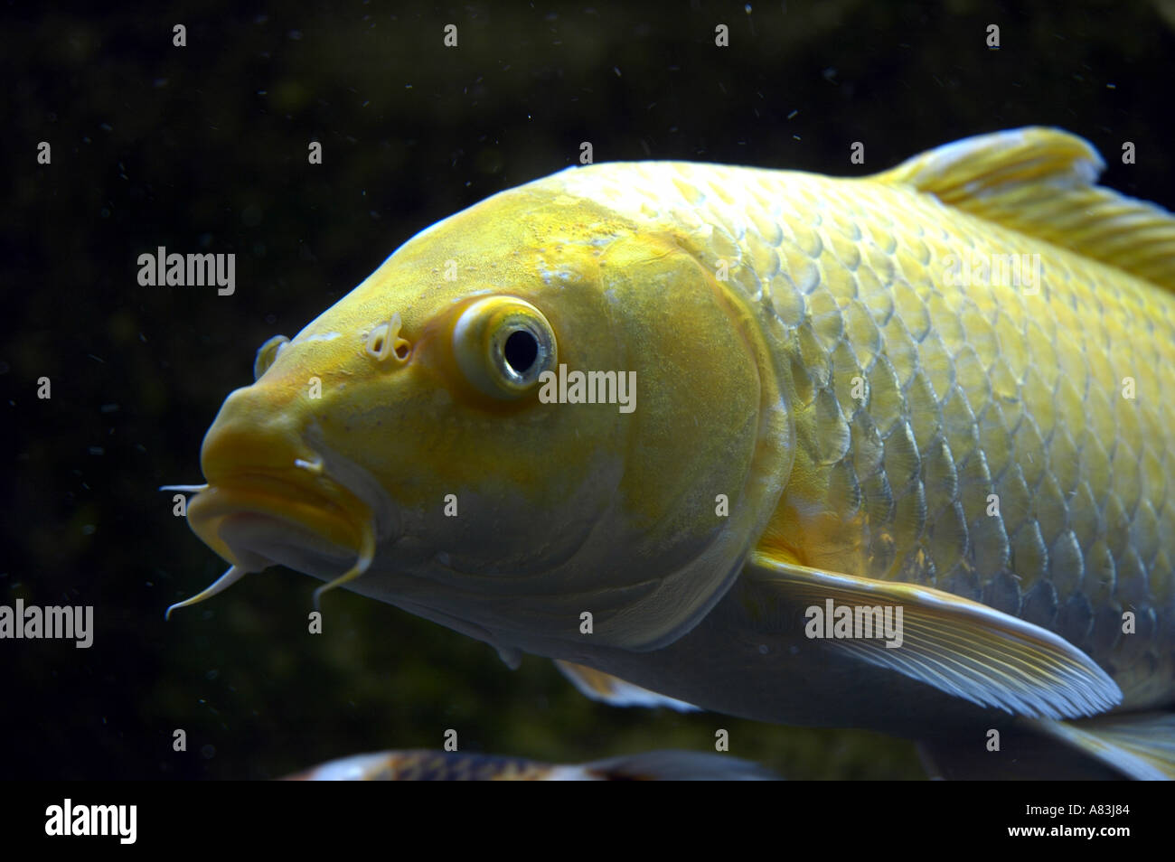 Yellow cold water fish in tank stock photo royalty free for What are cold water fish
