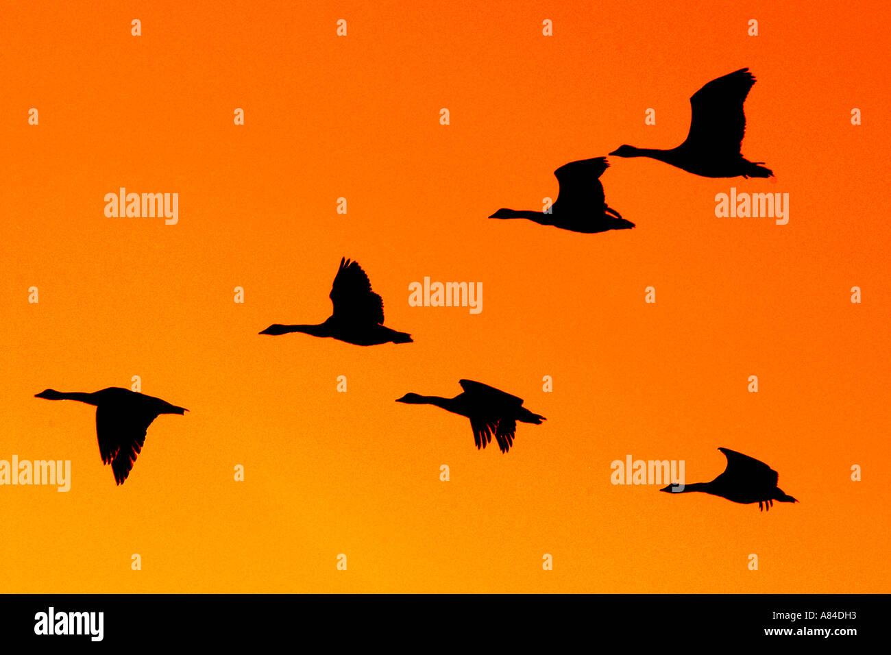 Canada Goose' sounds free