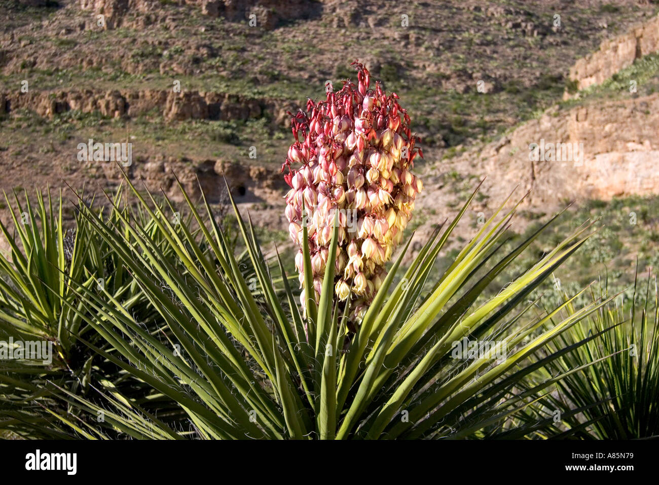 large blossom on a yucca plant in carlsbad caverns national park