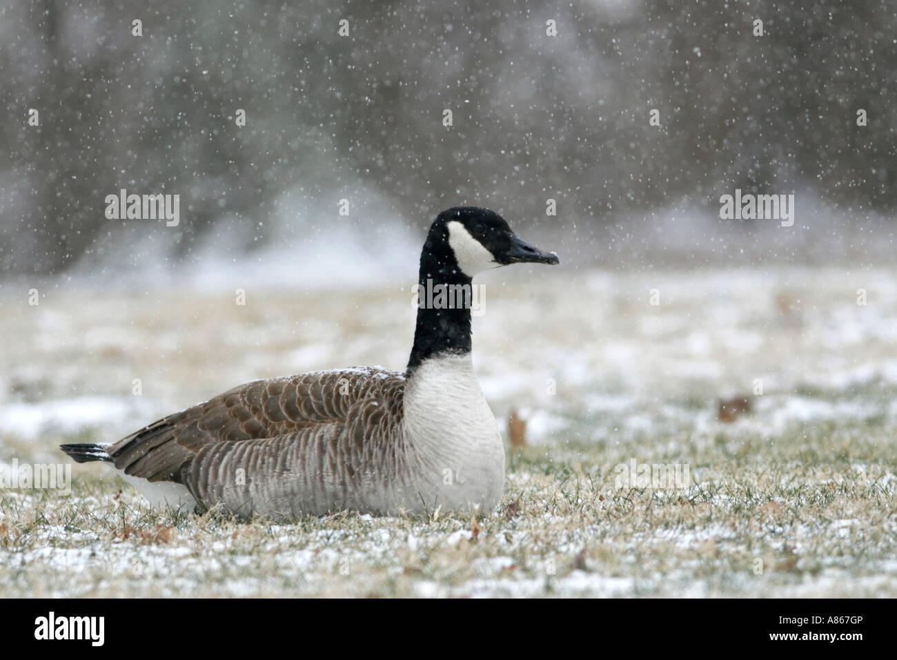 Canada goose stock photos canada goose stock images alamy canada goose in falling snow stock image biocorpaavc