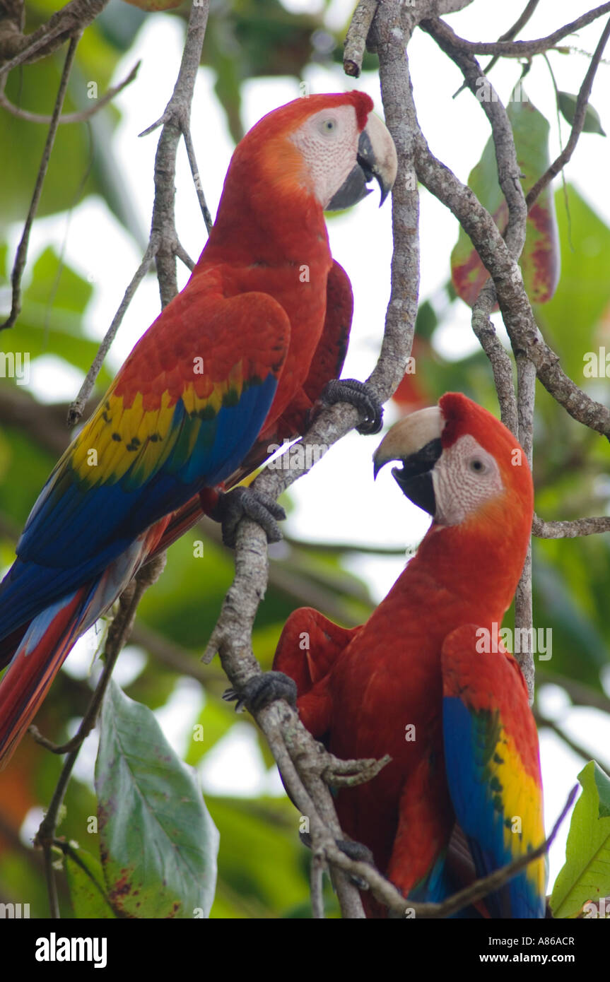 Scarlet Macaw Ara macao pair in Almond tree Tarcol Central ...