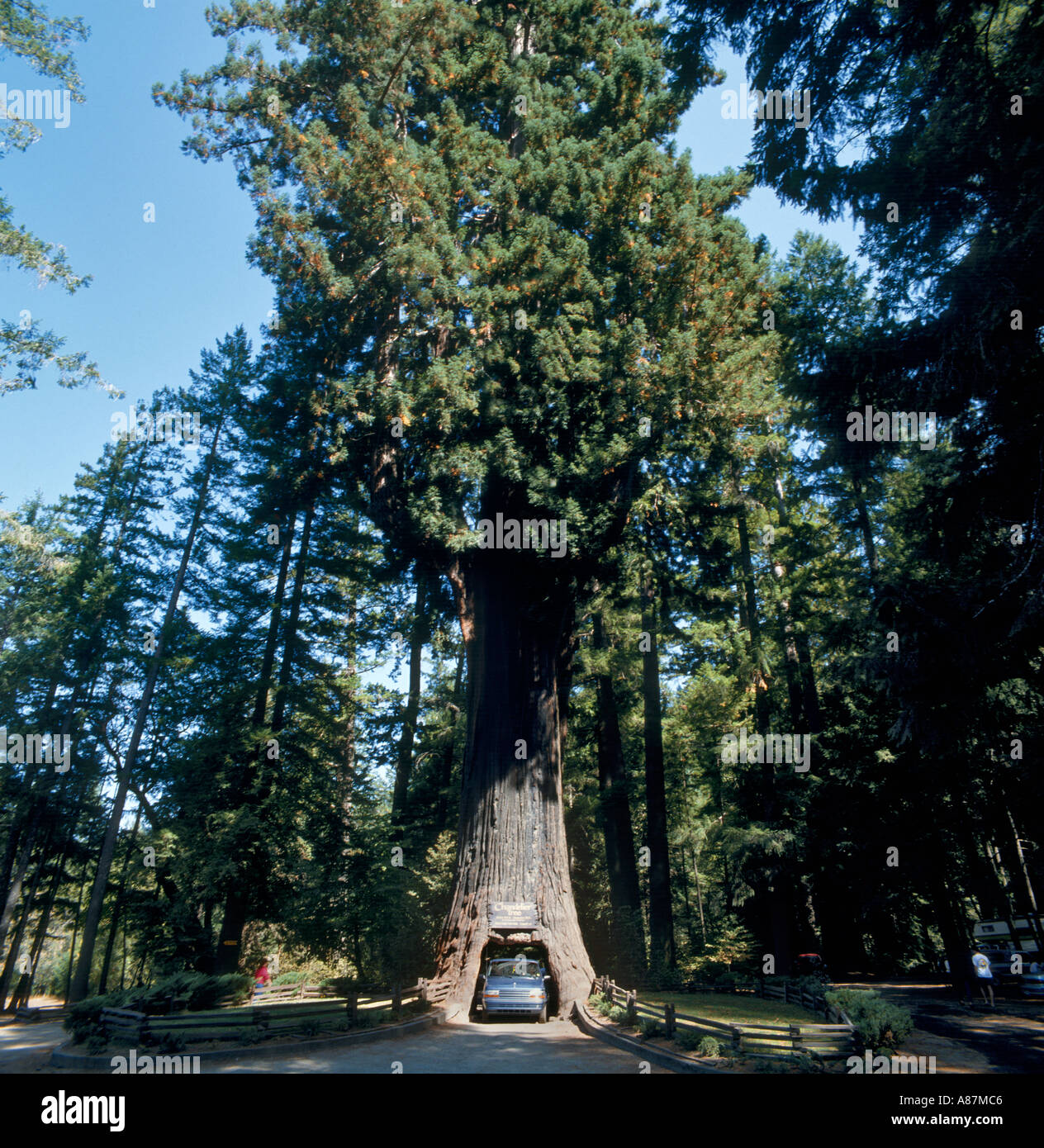 Car driving on a road through the Chandelier Tree, Redwood Forests ...