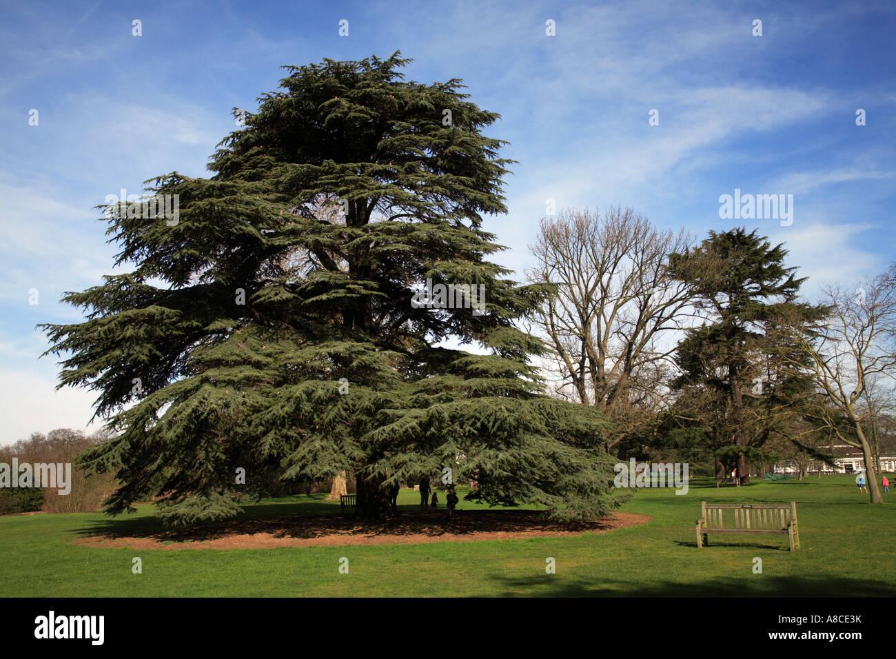 Cedar tree kew gardens london england stock photo royalty for Garden trees england
