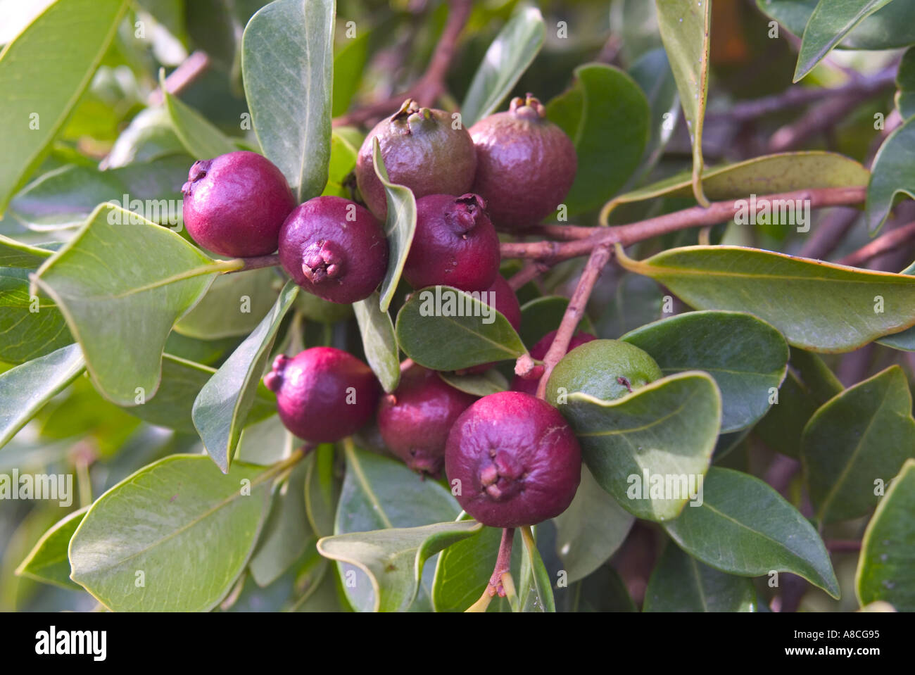 Strawberry Guava Psidium Littorale Stock Image Strawberry Guava Stock  Photos & Strawberry Guava Stock Images Alamy