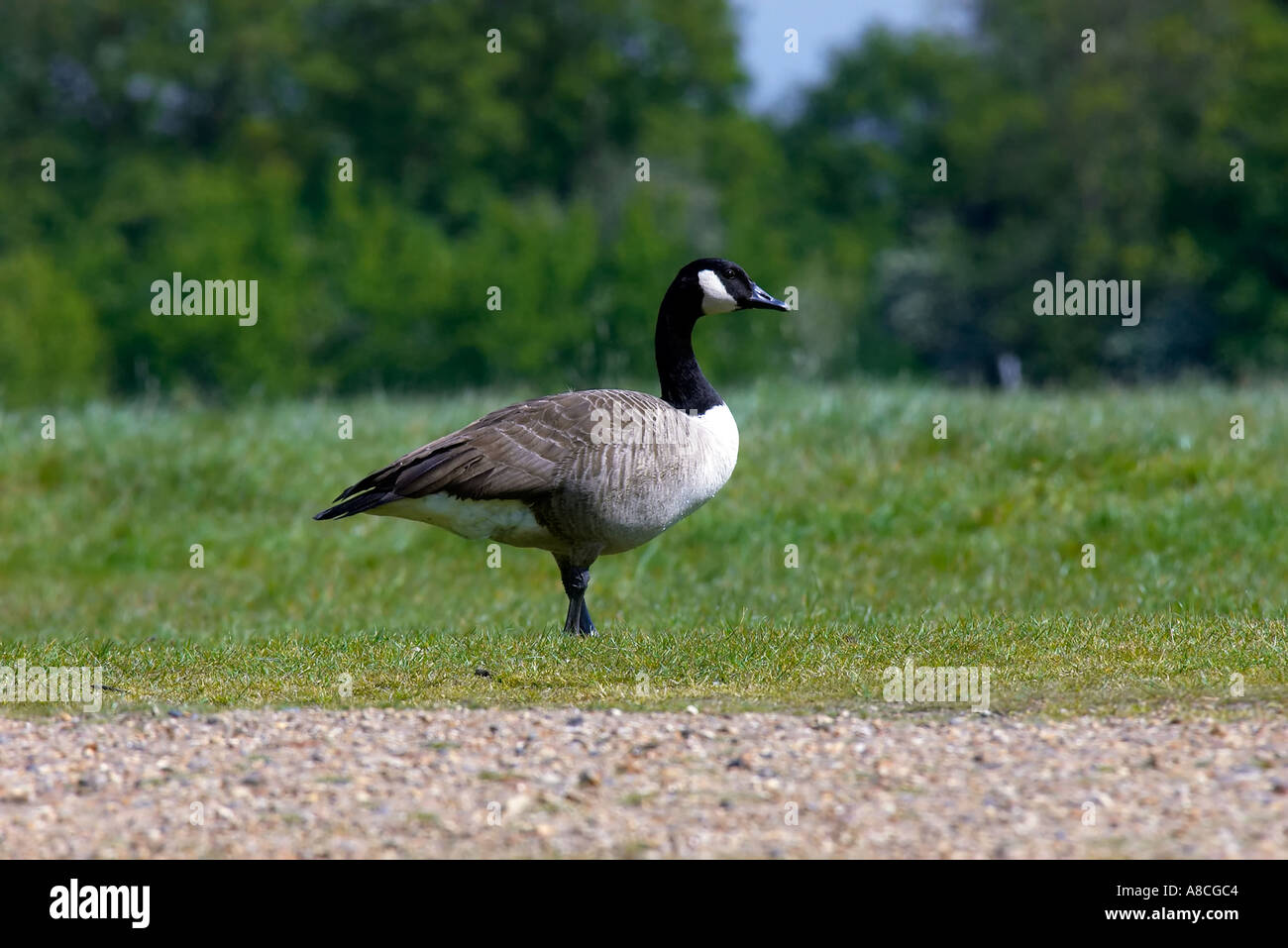 who stocks canada goose in london