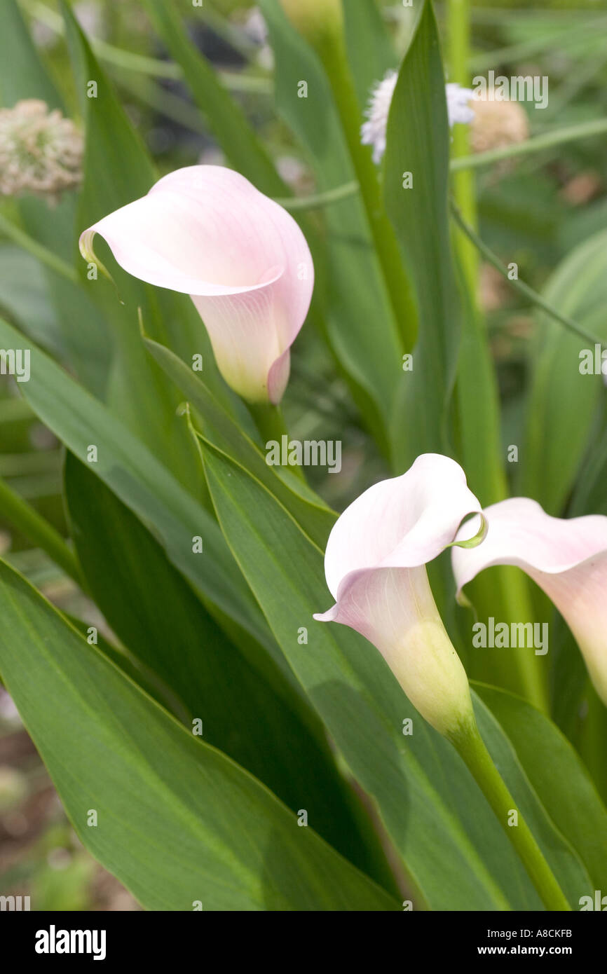 rehmannii pink calla lily flower stock photo