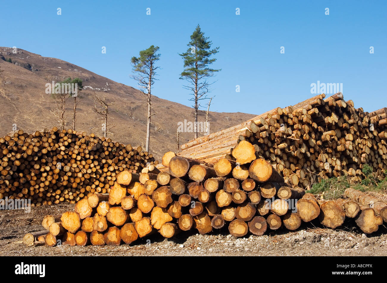 Hardwood And Softwood Trees ~ Softwood forestry conifer timber tree logging logs in glen