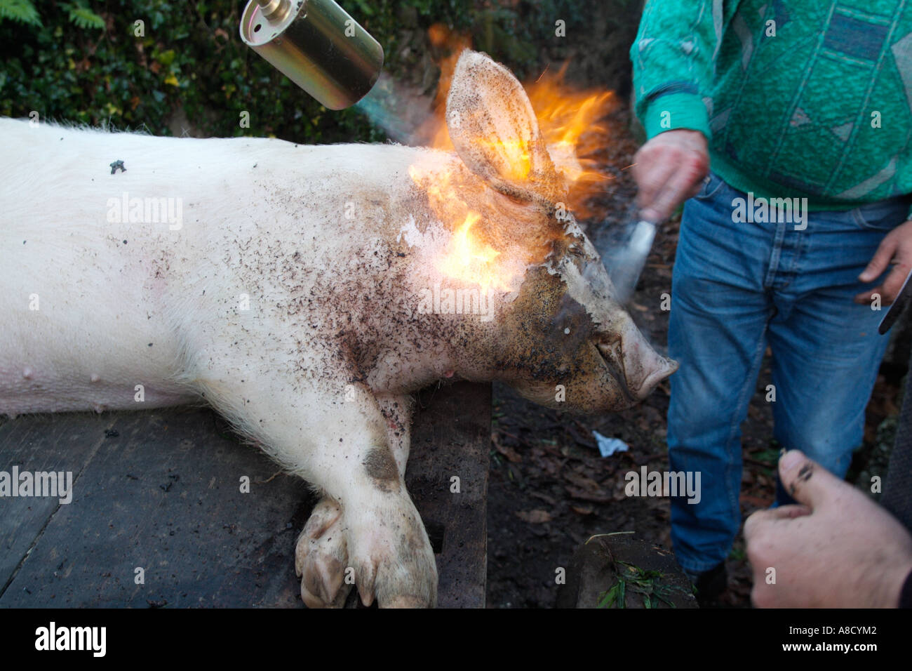 stock photo traditional way of killing a pig in rural portugal