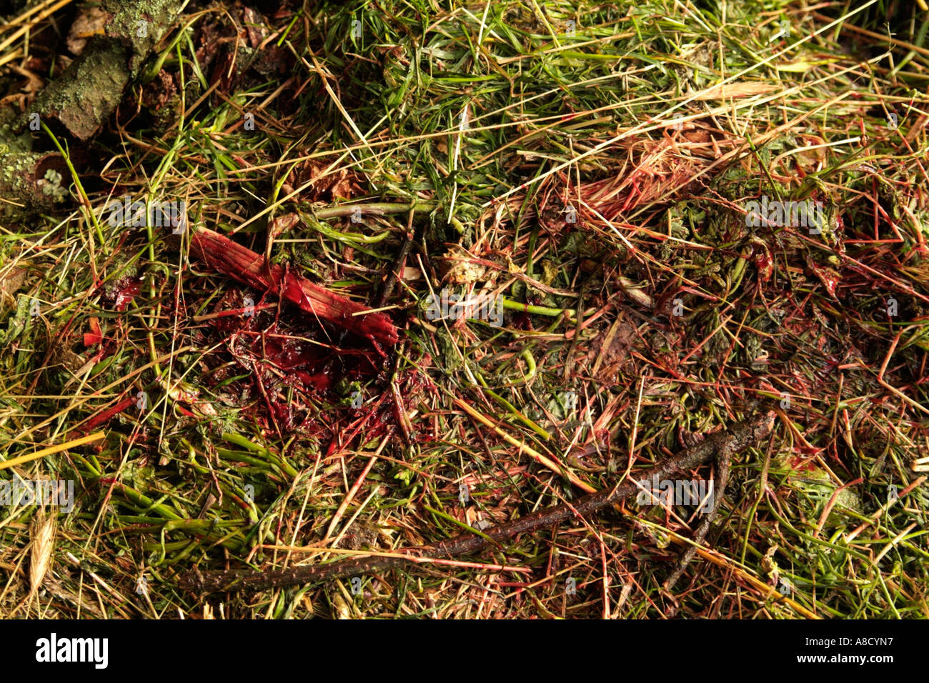 blood in the grass after killing a pig in rural portugal