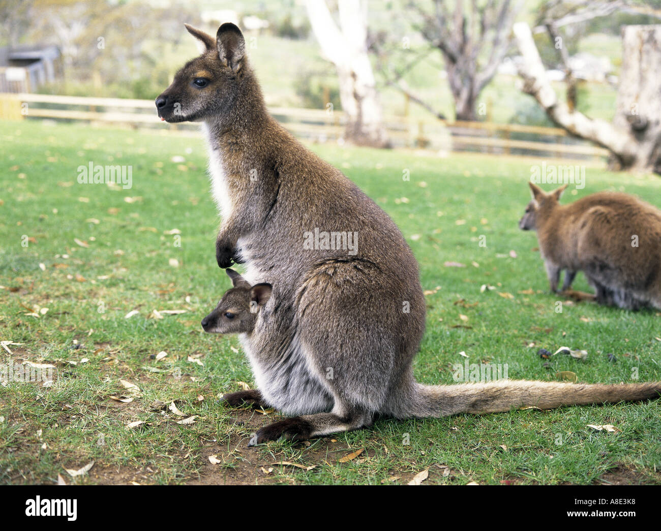 Wallaby Pouch Wallaby Baby | www.img...