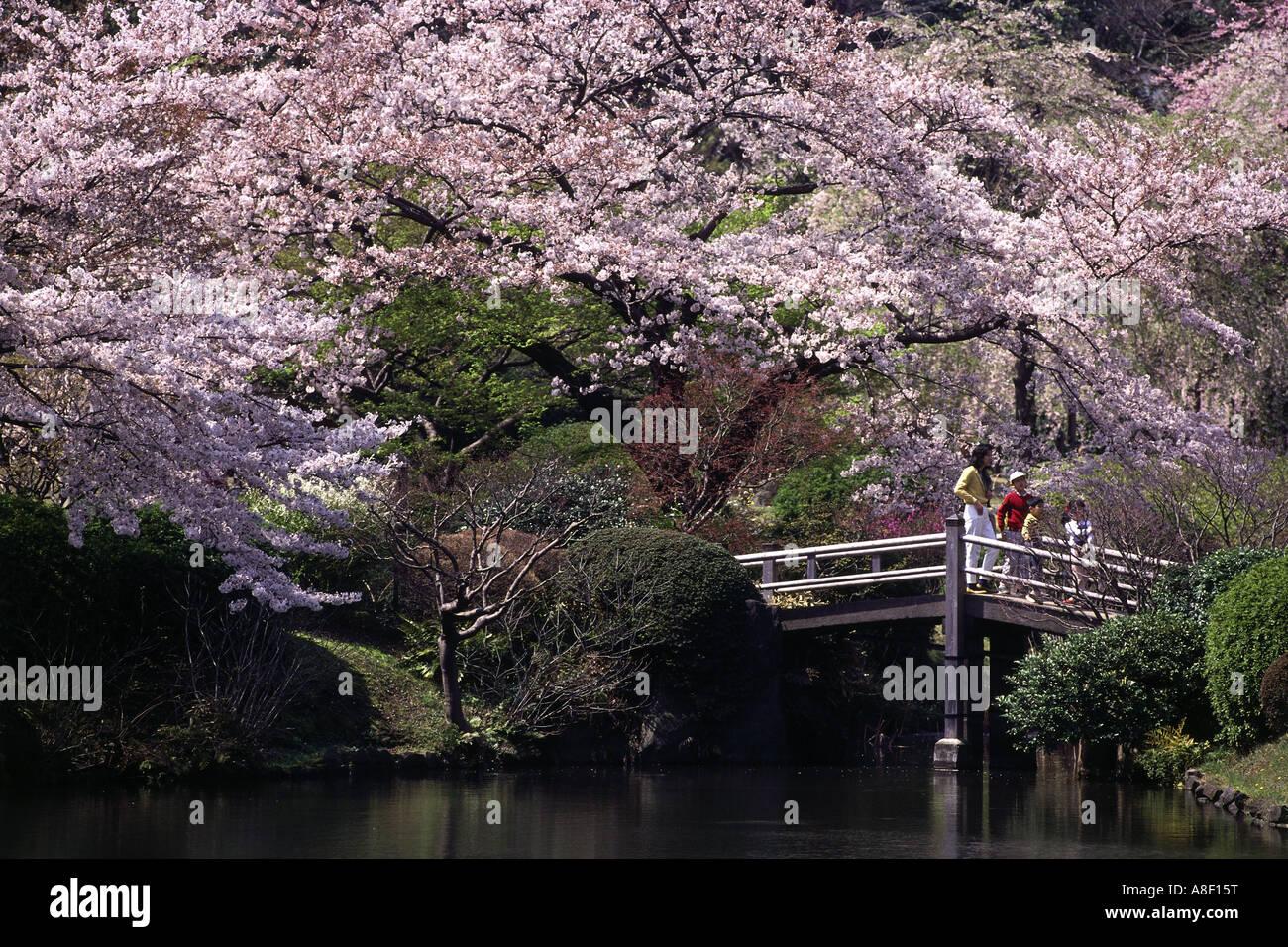 stock photo geography travel japan tokyo garden parks korakuen park cherry blossom tourists bridge cherry tree blooming koraku