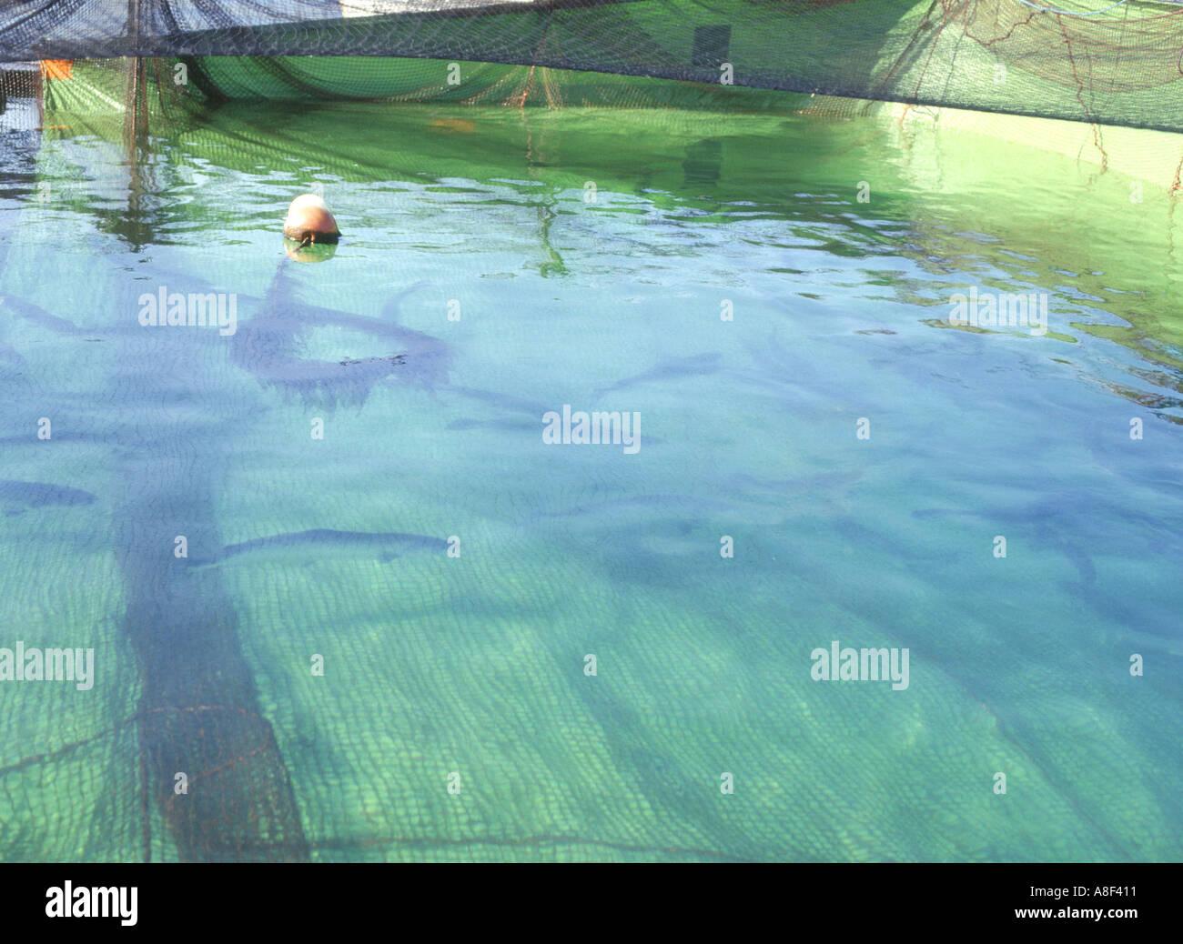 Weddell fish farm orkney salmon fish farming fish swimming for Pool of fish