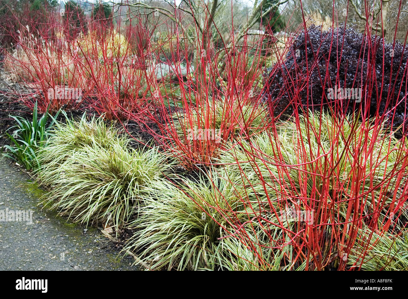 Winter garden cornus alba and carex morrowii fishers form for Winter garden