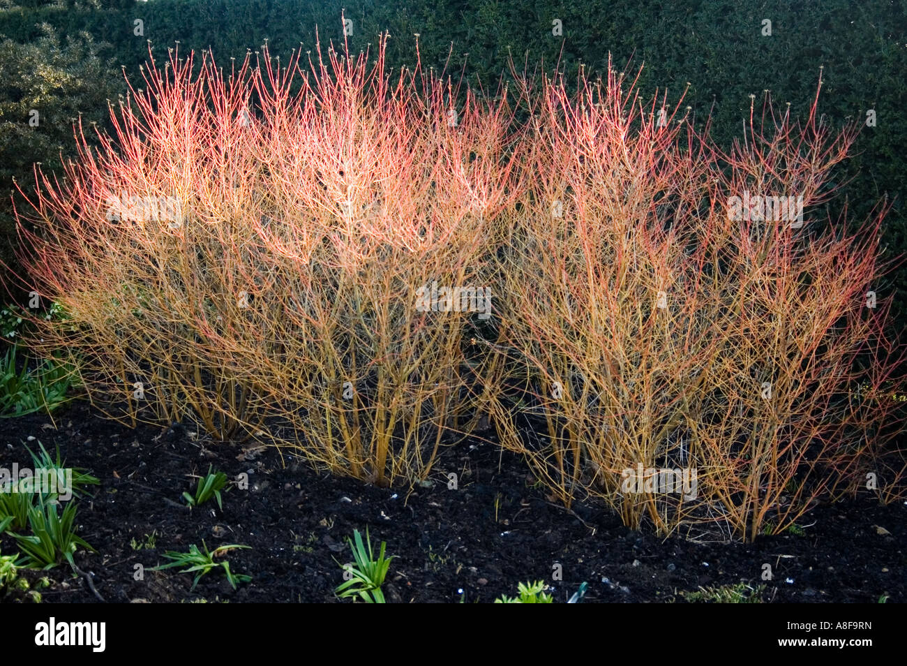 CORNUS SANGUINEA MIDWINTER FIRE BROADVIEW GARDENS HADLOW COLLEDGE TONBRIDGE  KENT