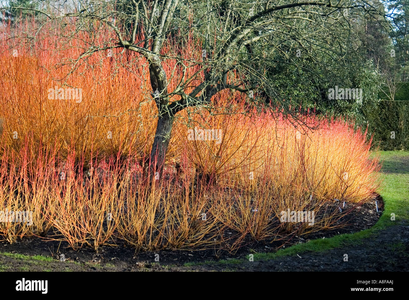 CORNUS SANGUINEA MAGIC FLAME SURROUNDING TREE BROADVIEW GARDENS HADLOW  COLLEGE KENT