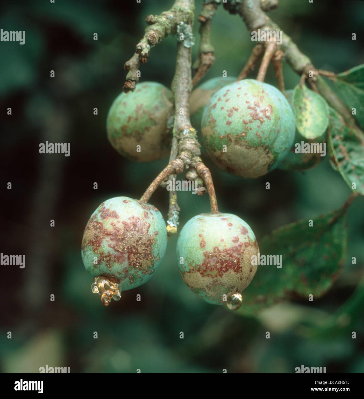 Exuding plum scab fusicladum carpophilum fruit infected and exuding gum