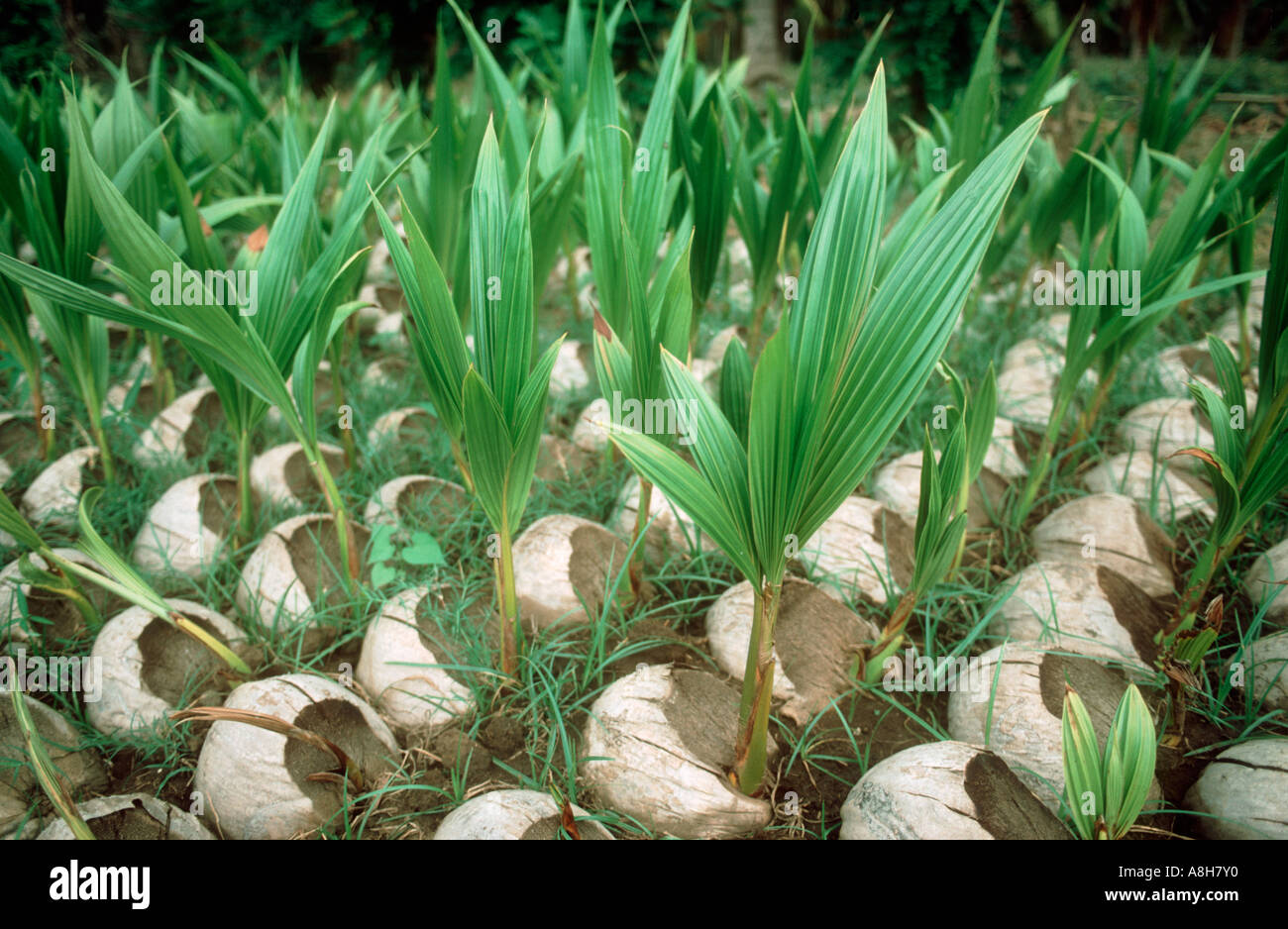 how to kill cocos palm seedlings