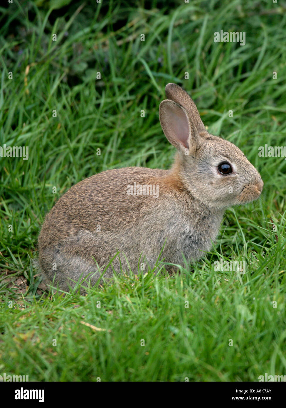 A Small Wild Rabbit In The Grass Stock Photo Royalty Free
