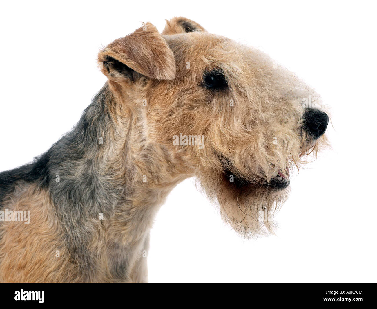 how to select a lakeland terrier download