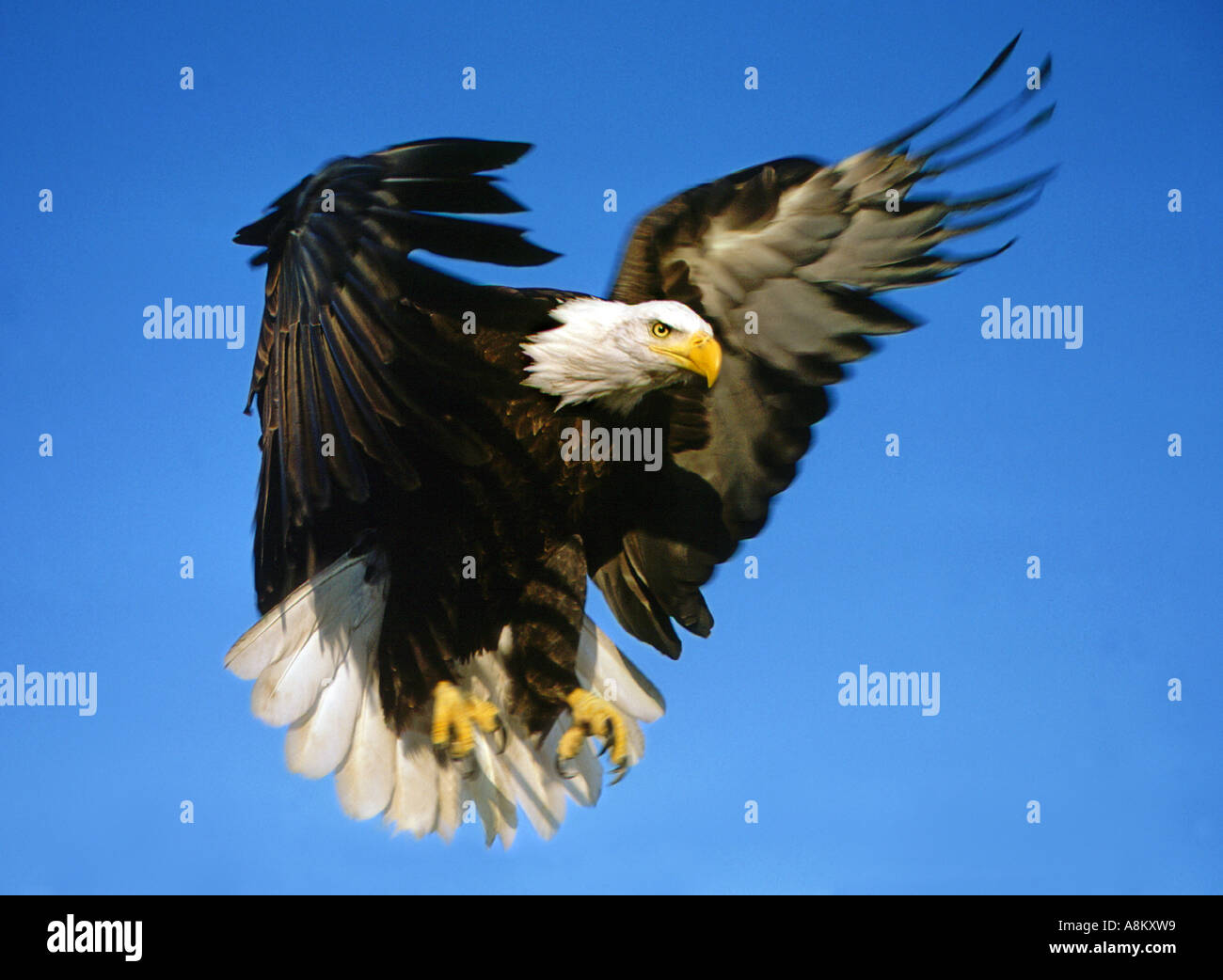 usa idaho american bald eagle landing with tallons out in birds of