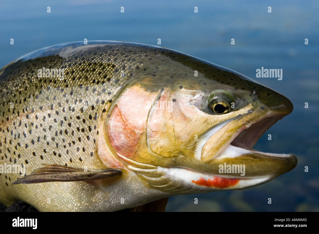 idaho fly fishing close up of large cutthroat rainbow hybrid trout