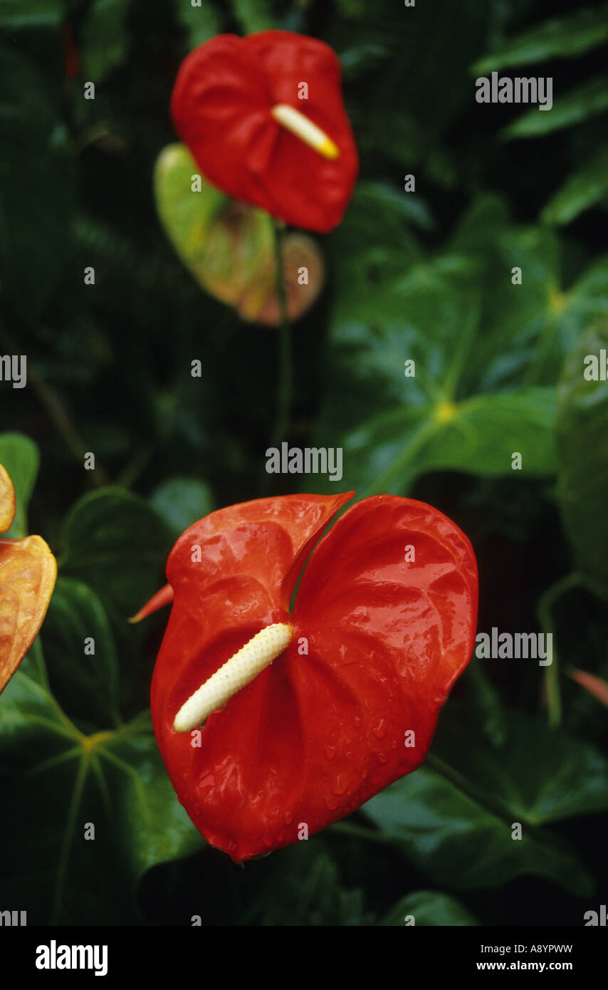 Flamingo Lily Or Anthurium Andraeanum In Botanic Garden Maison Folio In  Hell Bourg Commune Of Salazie REUNION ISLAND France