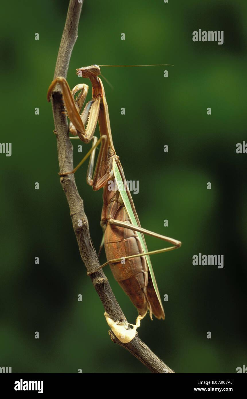 Praying mantis mouth anatomy - crazywidow.info