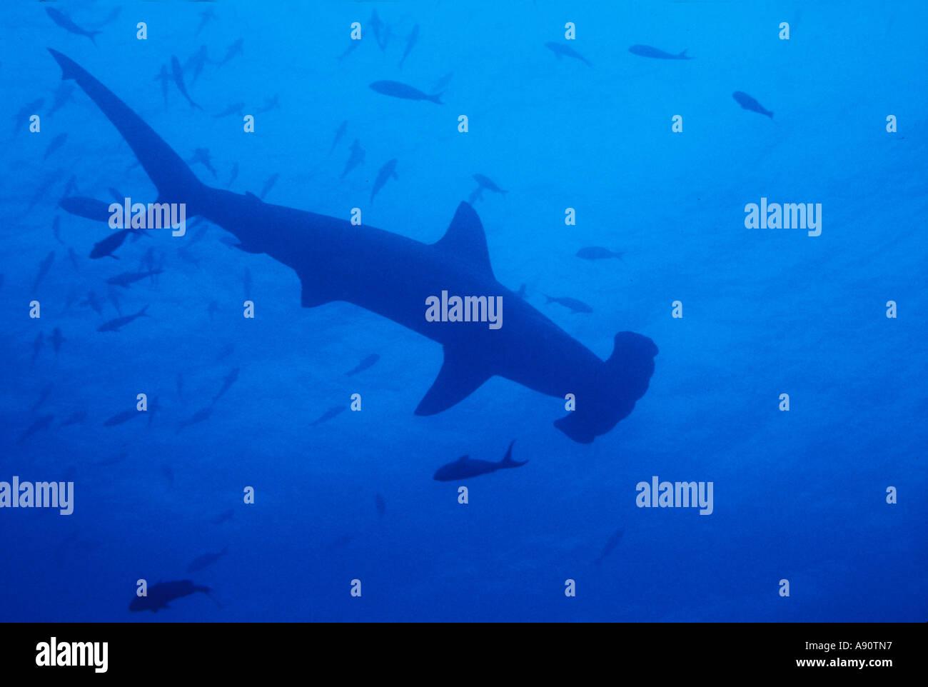 uf 269 hammerhead shark silhouette