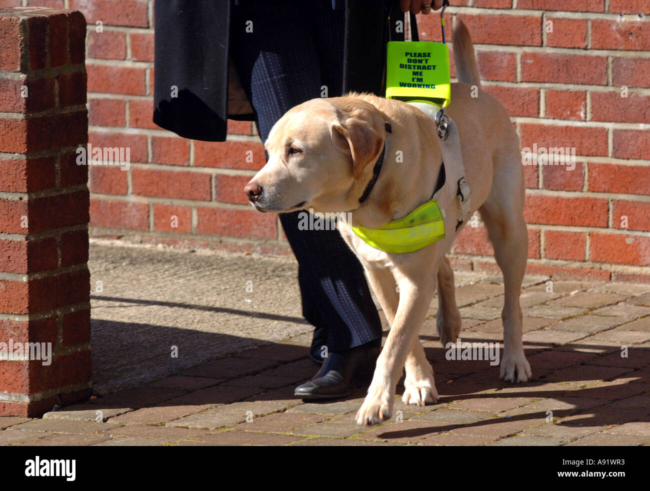 Guide dogs for the blind - photo#26