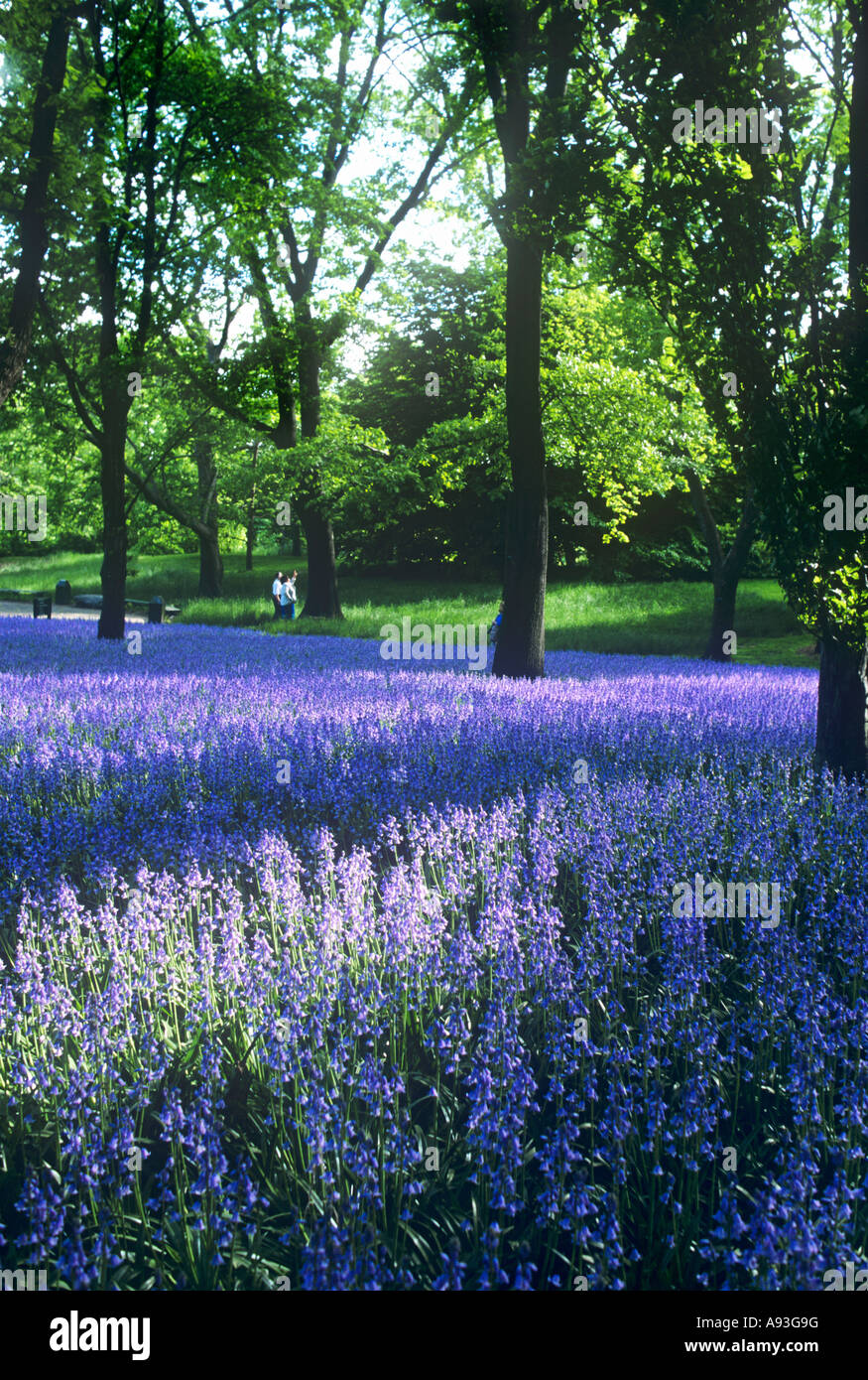 Bluebells In Brooklyn Botanic Gardens Prospect Park Brooklyn New York Stock Photo Royalty Free