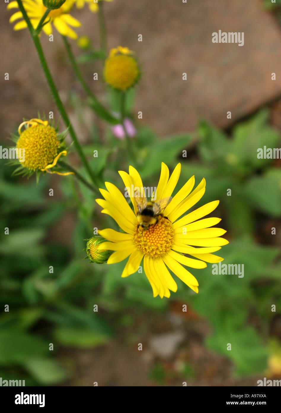 yellow aster flower with bumble bee stock photo, royalty free, Beautiful flower
