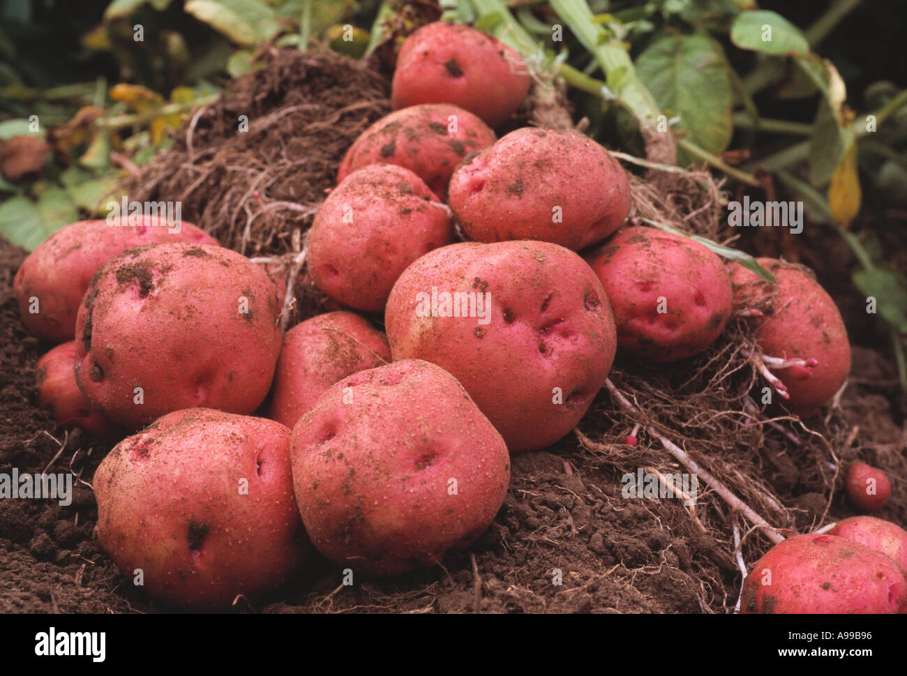 Agriculture Pontiac Red Potatoes Dug Up And Laying Alongside Root Pod In The Field With