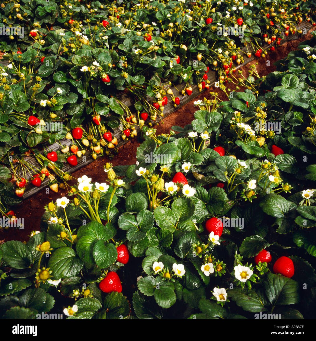 Agriculture - Rows of strawberry plants with a heavy crop of ...