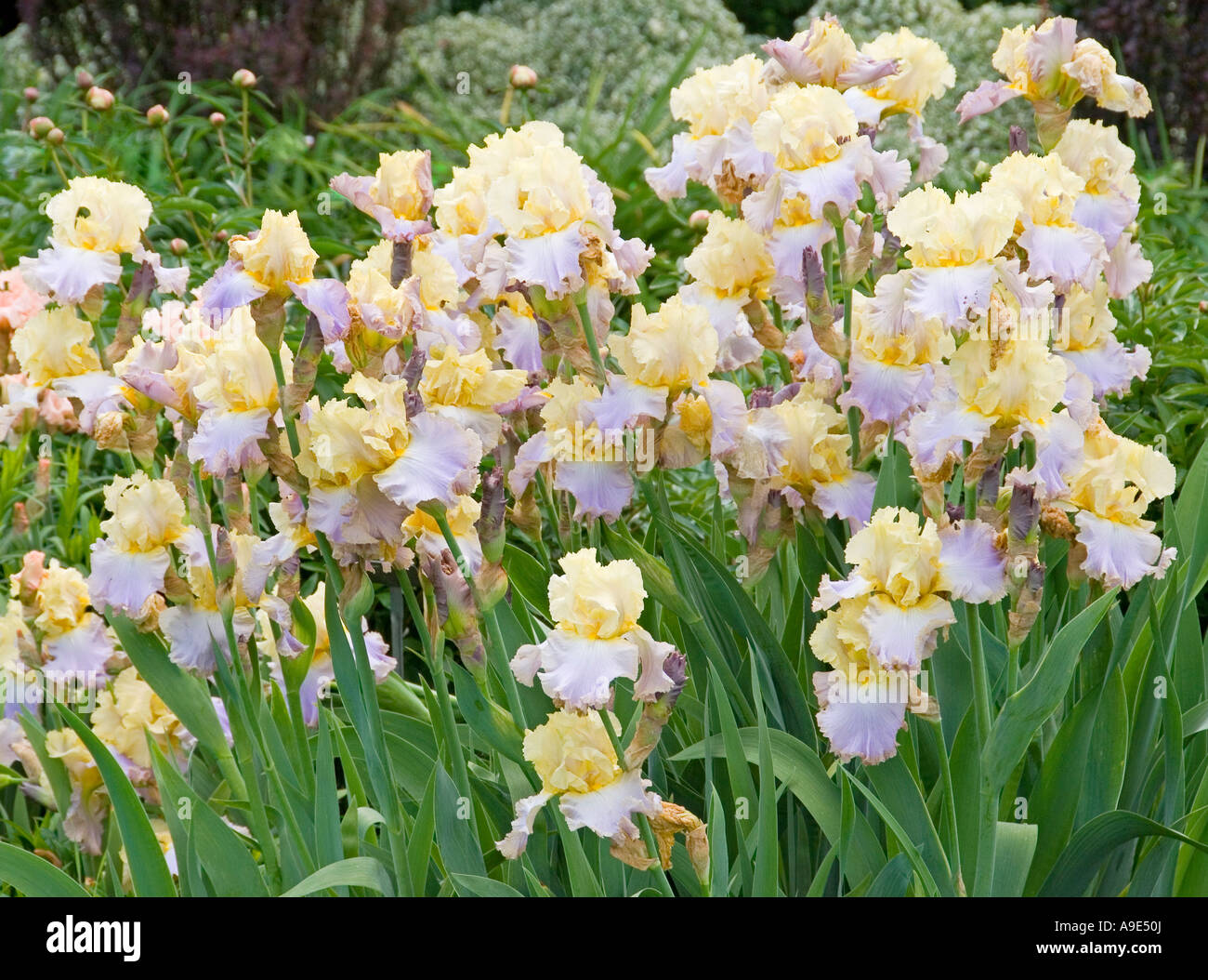 Yellow blue iris lullaby of spring flowers blooming stock photo stock photo yellow blue iris lullaby of spring flowers blooming dhlflorist Choice Image