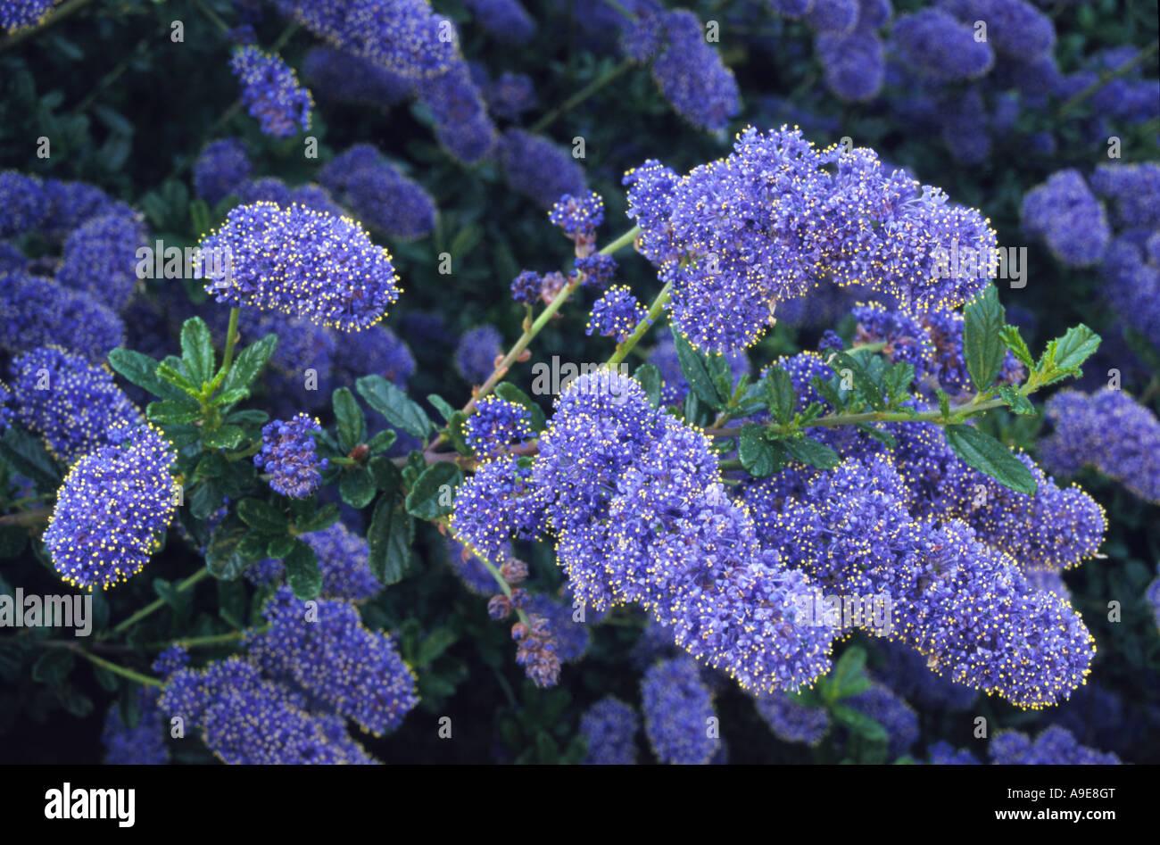 Ceanothus italian skies stock photo royalty free image 12339911