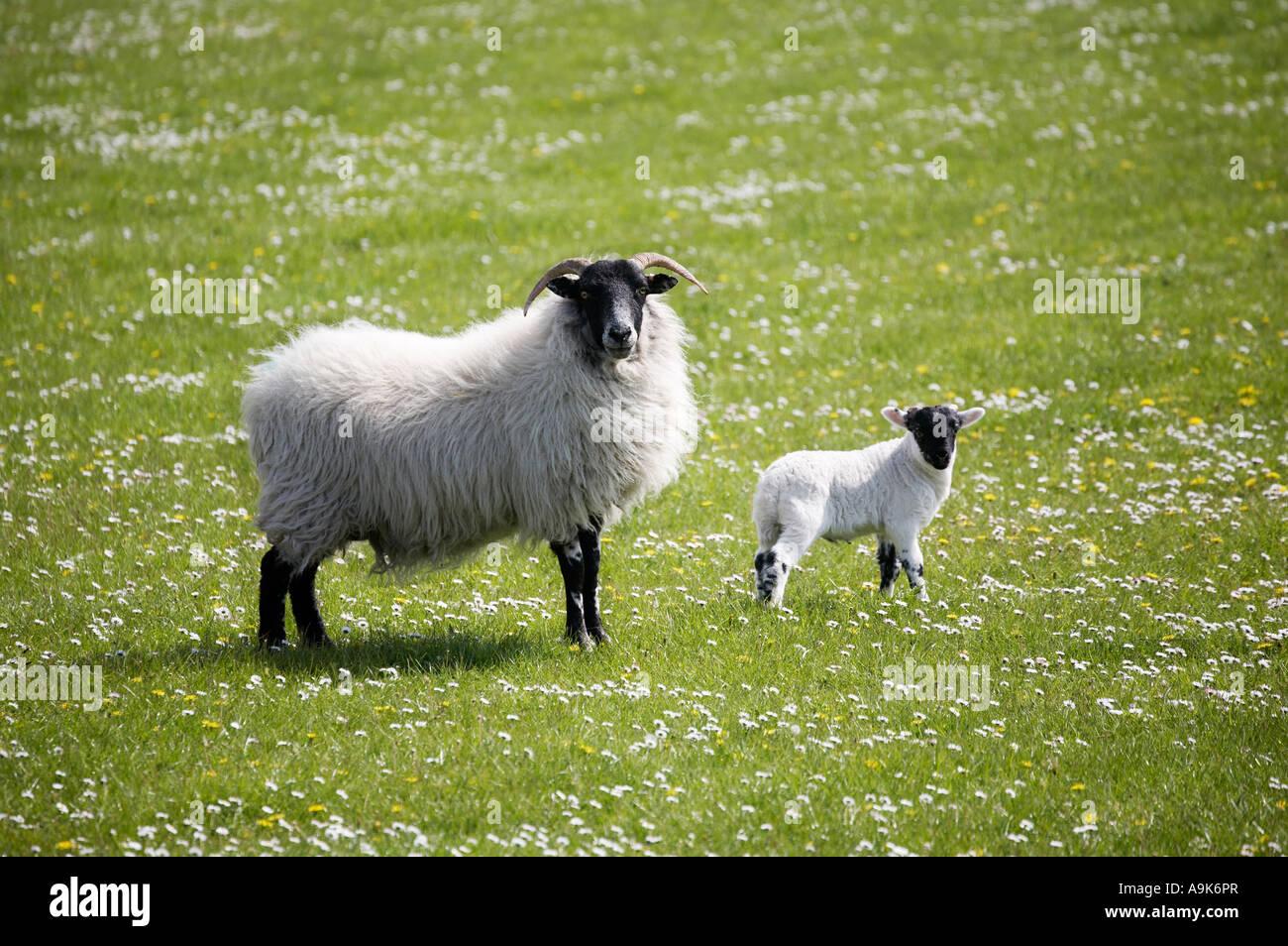 scottish blackface sheep ewe and lamb stock photo royalty